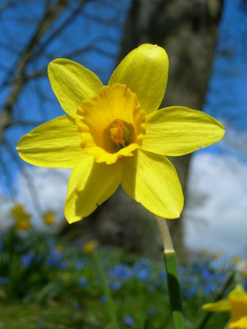 Daffodil at Waddesdon Manor, Buckinghamshire