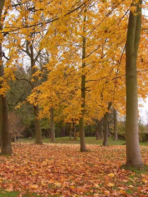 Autumnal trees, between Wheathampstead and Lemsford in Hertfordshire