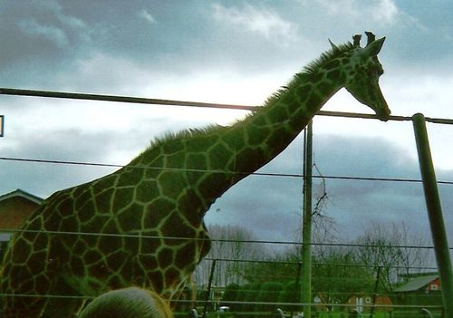 Giraffe at Twycross Zoo, Leicestershire