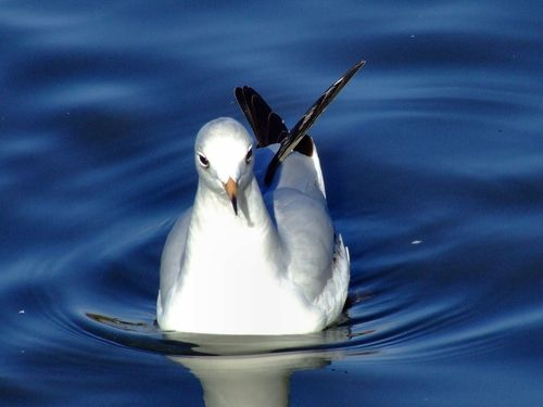 Black headed gull, Kingston upon Hull, East Riding of Yorkshire
