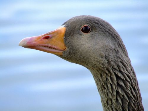 Greylag goose....anser anser, Eastrington, East Riding of Yorkshire