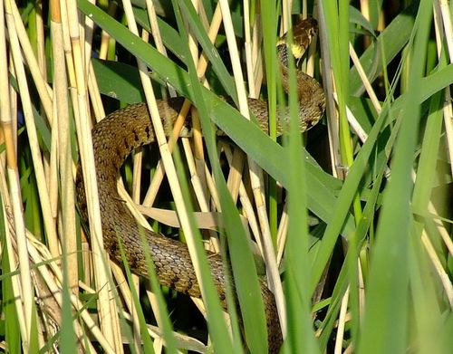 Grass snake....natrix natrix, Broomfleet, East Yorkshire