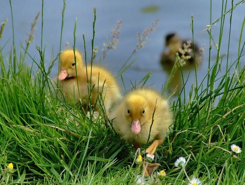 Mallard ducklings, Brantingham, East Riding of Yorkshire