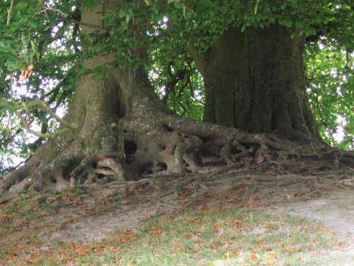 Beach Trees, Avebury