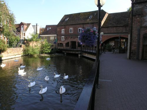 Swans by the Mill in Salisbury, Wiltshire