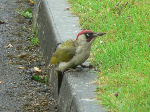 Woodpecker, Chard, Somerset