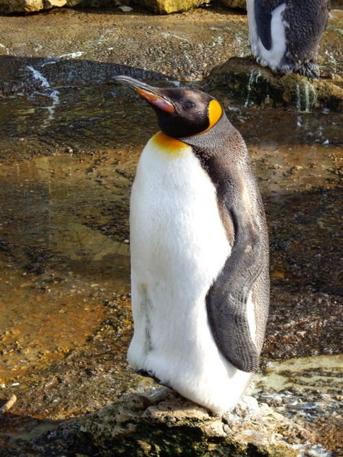 Penguin at Birdland, Bourton on the Water