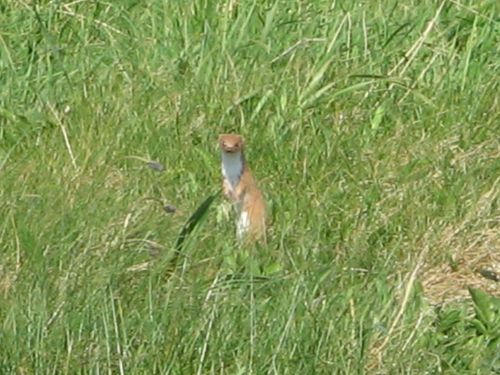 Weasel seen on the  Coastal Path, Whitburn, Tyne and Wear.