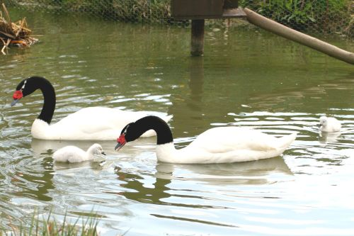 Black-necked Swans with chick.