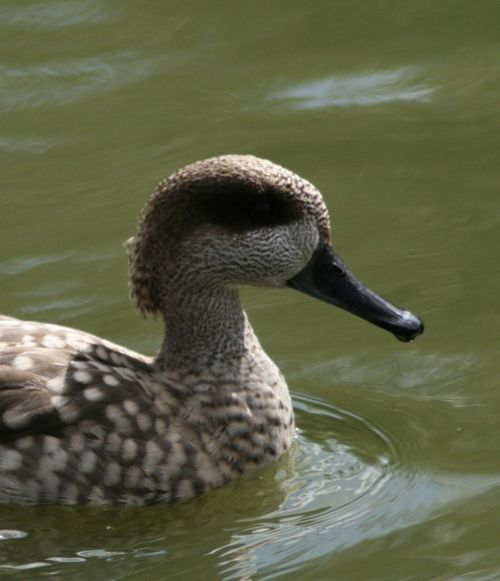 Marbled Teal, Washington Wetlands Centre, Tyne & Wear.