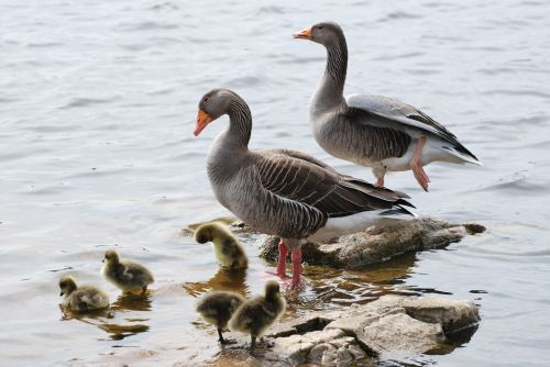 Greylag family at Groby Pool
