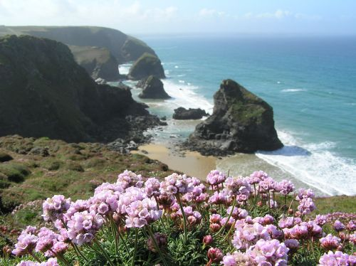 Thrift coming into flower on the clifftop at Bedruthan Steps