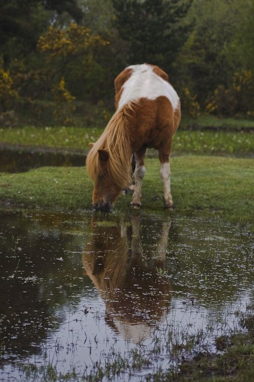 New Forest pony, New Forest, Hampshire