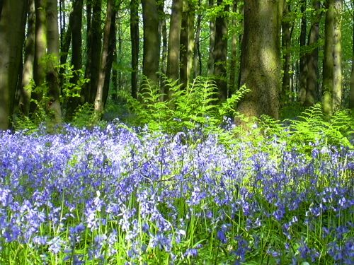 Bluebells in Melton Woods