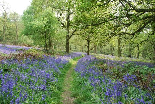 Path through the bluebells in Spring Wood