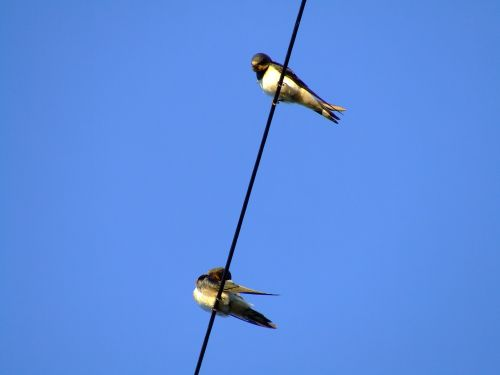 Swallows....hirundo rustica, Bishop Burton
