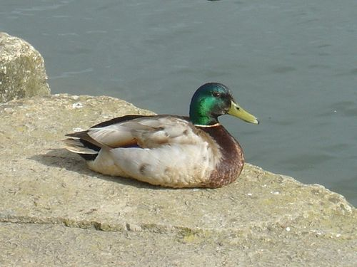 A Mallard by the River at Wareham, Dorset