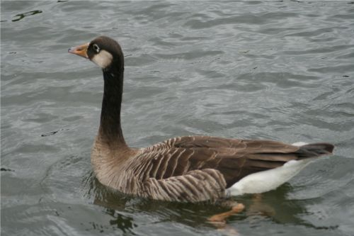Unidentified Goose on Herrington Ponds