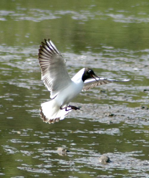 Black Headed Gull arriving at the lagoon at Washington Wetlands Centre.
