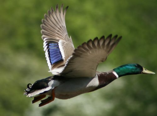 A Mallard in flight.