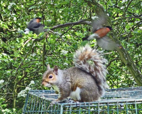 Grey Squirrel with Bull Finches as seen from hide at Washington Wetland Centre.