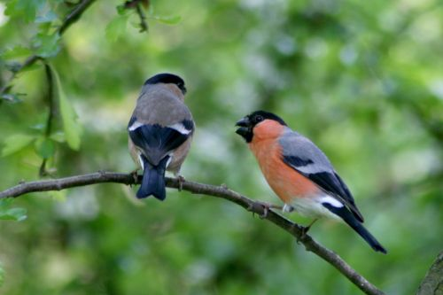 Male and female Bullfinch, seen from nature hide at Washington Wetland Centre.