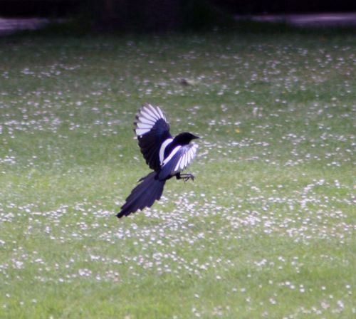 Magpie in Saltwell Park