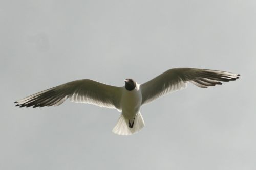Black Headed Gull flying over Derwentwater.