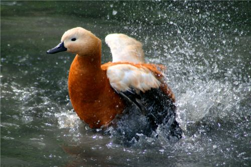 Ruddy Shelduck Bath Time.