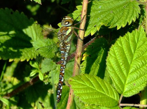Migrant hawker.....aeshna mixta