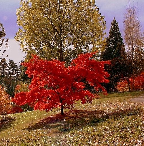 A Maple Tree in Full Colour