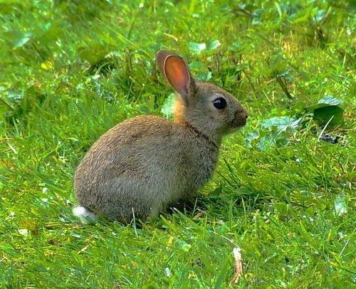 Baby rabbit....oryctolagus cunniculus, at Far Ings.