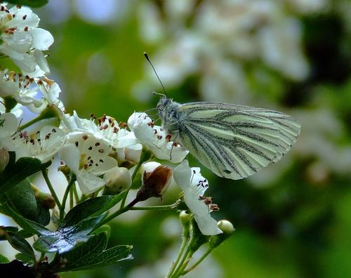 Green-veined white butterfly.......artogeia napi