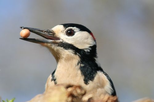 Woodpecker - with a liking for peanuts.