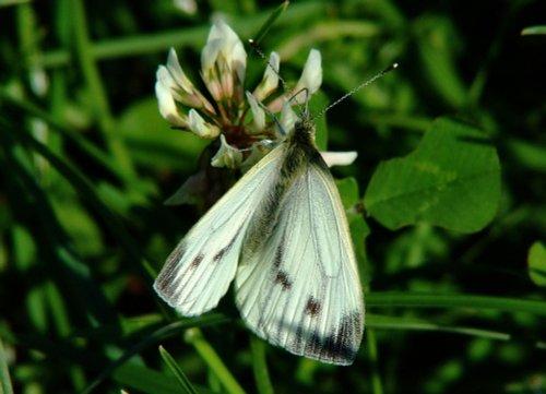 Large white butterfly (female).......pieris brassicae