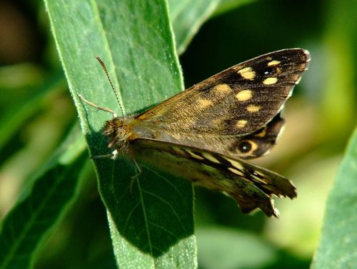 Speckled wood butterfly......pararge aegaria