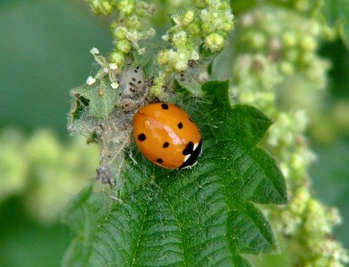 Seven spot ladybird.....coccinella-7-punctata