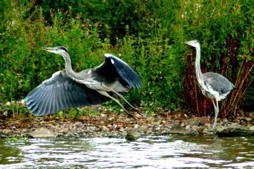 A pair of Herons.