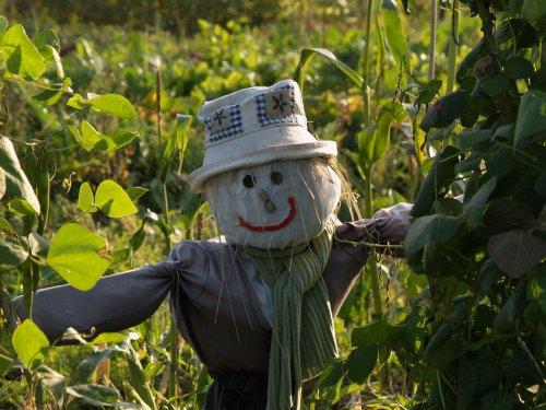 Attractively designed scarecrow, Steeple Claydon allotments, Bucks