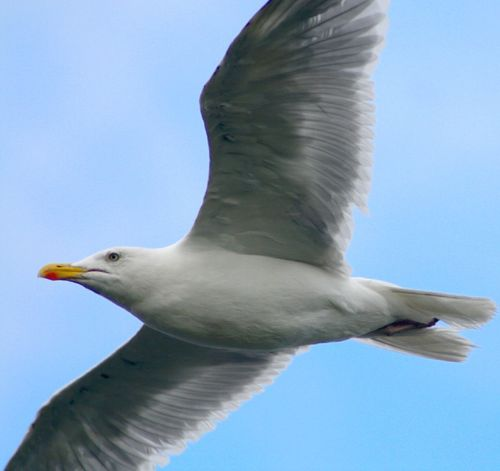 A Herring Gull