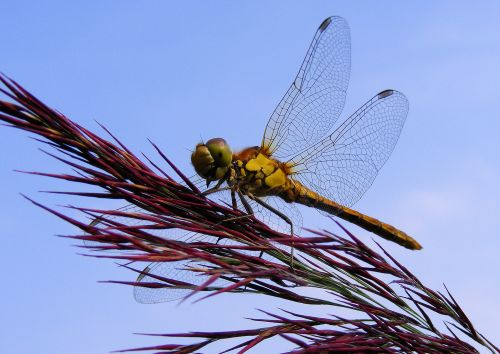 Dragonfly at Ludham