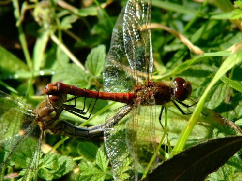 Common darter dragonflies......sympetrum striolatum