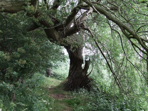 An old tree with a bit of character at Newport