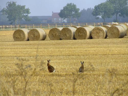 Hares in the field near Newport