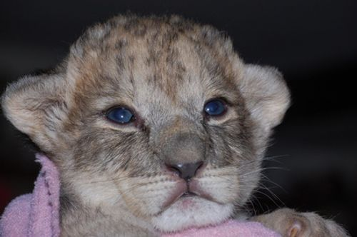 Zara the lion cub at Linton Zoo