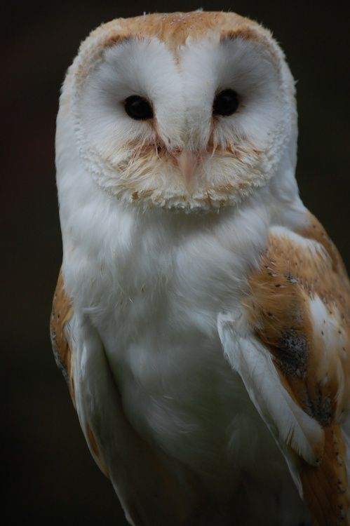 6 month Old Barn Owl at Linton