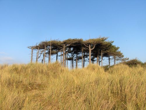 Unusual flat-topped canopy of trees near the dunes....