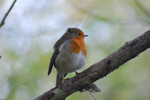 Robin at Titchwell Marsh