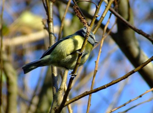 Blue tit....parus caeruleus at North Cliffe
