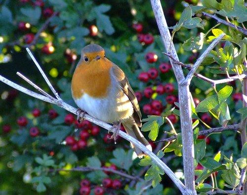 Robin....erithacus rubecula